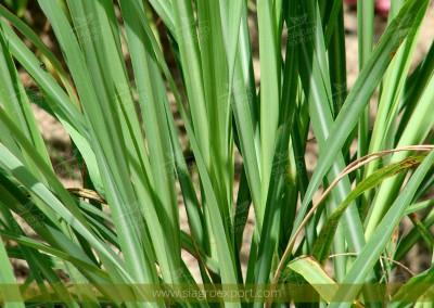 Hierba luisa (Cymbopogon citratus)