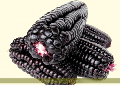 Purple corn (Zea mays)