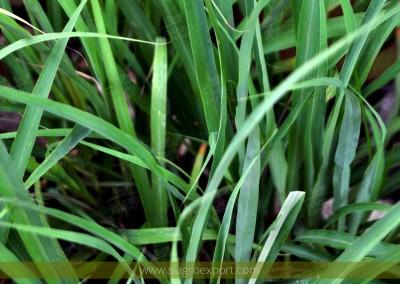 Citronella (Cymbopogon nardus)