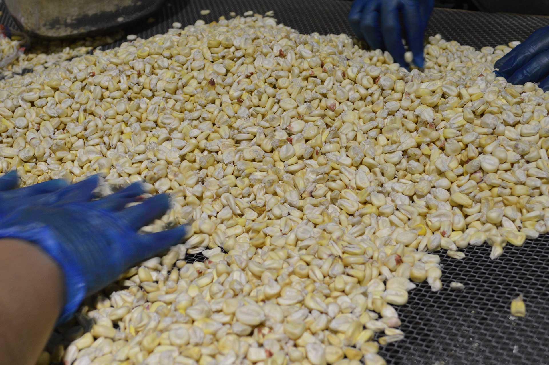 servicio-seleccion-molienda-maiz-zea-mays-siagro-export