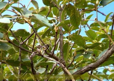 Tahuari (Tabebuia serratifolia)